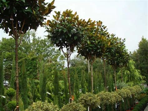 magnolia grandiflora uk specimen magnolia trees for sale