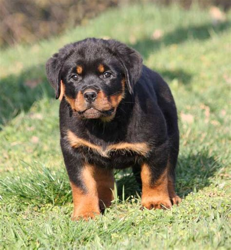 2 month rottweiler rottweiler puppies 2 month www pixshark images galleries with a bite
