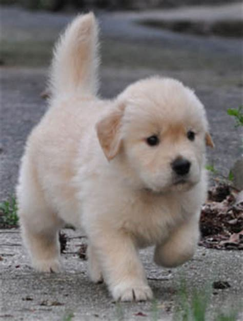 golden retriever puppies for sale in florida image gallery retriever breeders