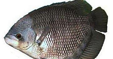 Jual Bibit Ikan Nila Di Bandar Lung distributor peternakan ikan gurame distributor jual ikan