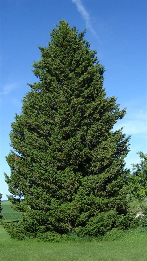 what is the most fragrant fir tree for christmas green douglas fir pseudotsuga menziesii viridis tree seeds fragrant evergreen ebay