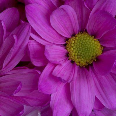 specie fiori petunia nana compatta miscuglio artfpe0200 html bavicchi