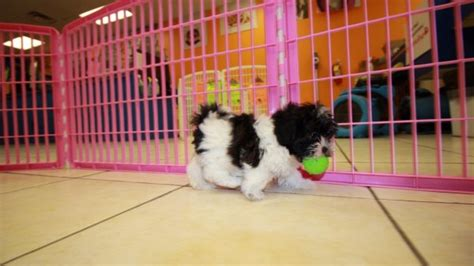 shih poo puppies for sale local puppy breeders beautiful shih poo puppies for sale in atlanta georgia ga
