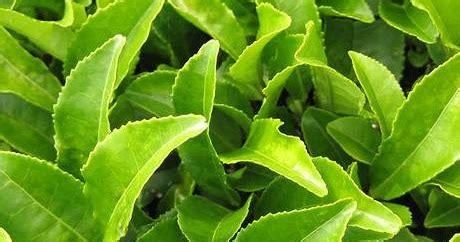 tanaman pencegah rambut rontok obat sakit