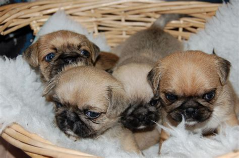 pug breeders colorado imperial pug puppies eastleigh hshire pets4homes