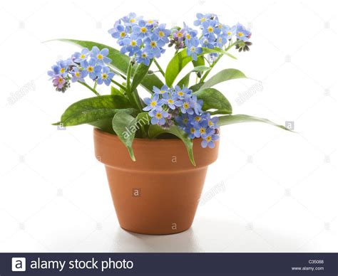 images of 6 flowers in pots forget me not small beautiful flowers in flower pot stock photo 36374696 alamy