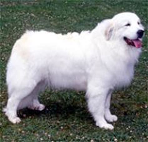 great pyrenees rescue provides wonderful dogs to good homes adopt a great pyrenees dog breeds petfinder