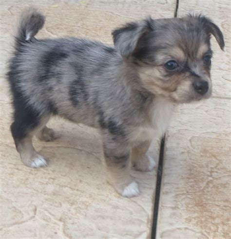 jackhuahua puppies for sale in us blue jackhuahua puppy for sale on the