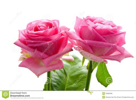 imagens de flores e rosas duas rosas cor de rosa bonitas imagens de stock royalty