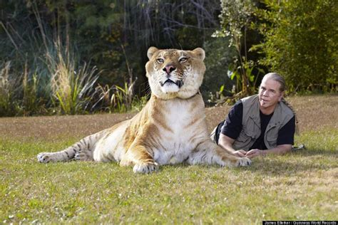 world s largest hercules world s largest living cat hercules the liger our planet