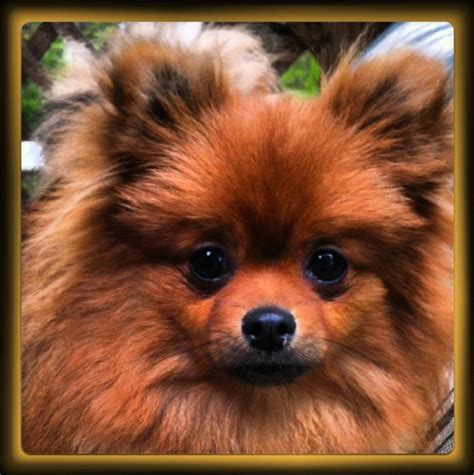 rescue a pomeranian pommy shares a poem dedicated to rescuers