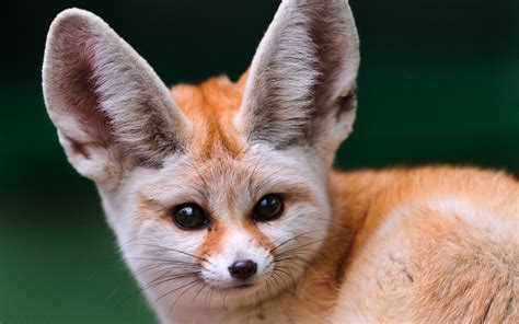 fennec fox as pets things to know before taking them as pets