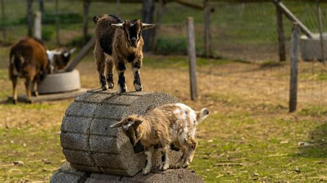 goat house goat shelters chapter  raising goats