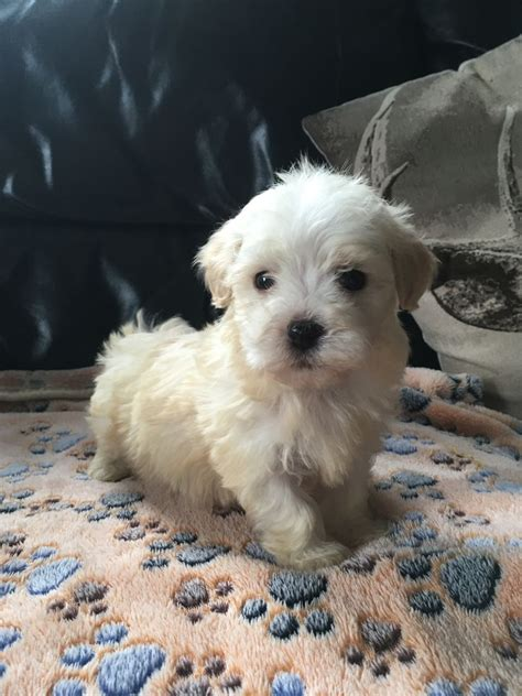 havanese puppies uk gorgeous havanese puppies sleaford lincolnshire pets4homes