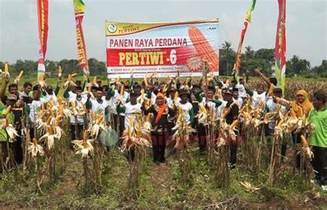 Bibit Jagung Pertiwi 6 benih jagung pertiwi 6 rendemen tinggi tahan bulai