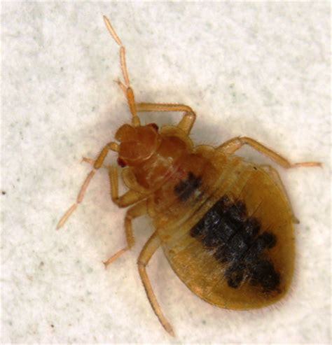 do bed bugs have antennas bed bugs informational guide to bed bugs purdue monitoring control treatment