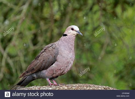 ring 80 extraordinary ring necked dove ringneck doves as