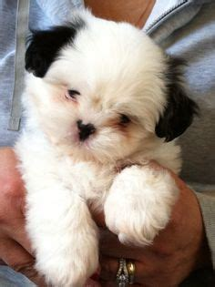 pomeranian puppies for sale in cedar rapids iowa 1000 ideas about teddy puppies on puppy shichon puppies for