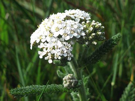 yarrow milfoil achillea millefolium 100 yarrow achillea millefolium wildlife insight