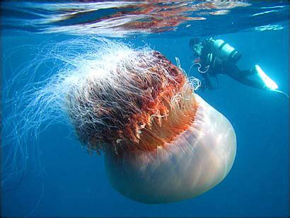 quallen le 10 amazing facts about jellyfish 171 twistedsifter