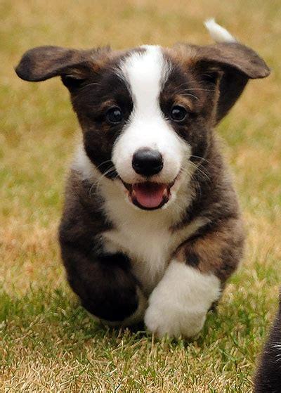 cardigan corgi puppies cardigan corgi puppies pictures photos