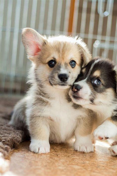 find corgi puppies best 25 corgi pups ideas on corgi corgi and baby dogs