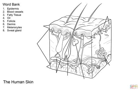 human skin anatomy worksheet coloring page free