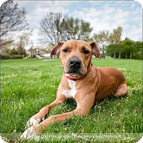 pitbull puppies ohio columbus oh pit bull terrier mix meet rosie a for adoption