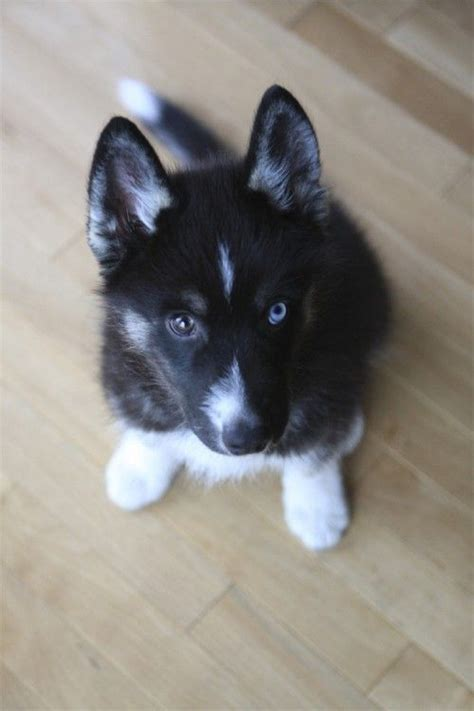 different puppies husky puppy with different colored animals