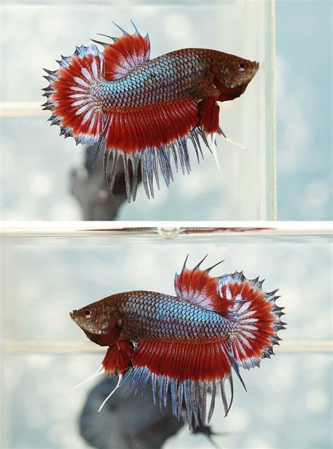 Ikan Cupang Crowntail Royal Blue 1455 best images about fancy bettas on salamanders copper and auction