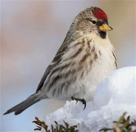 the redpolls are coming the redpolls are coming and