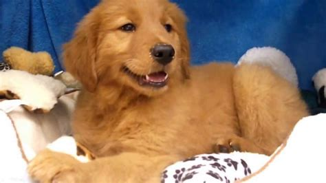 golden retriever puppies to buy golden retriever puppy