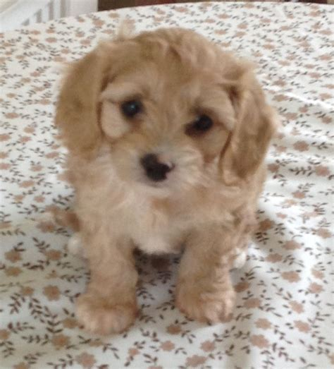 cavapoo puppies beautiful f2 cavapoo puppies march cambridgeshire pets4homes