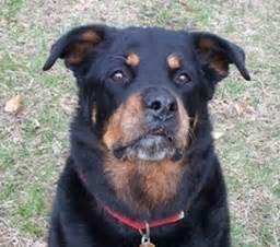 rottweiler rescue ma east rottweiler rescue referral inc home