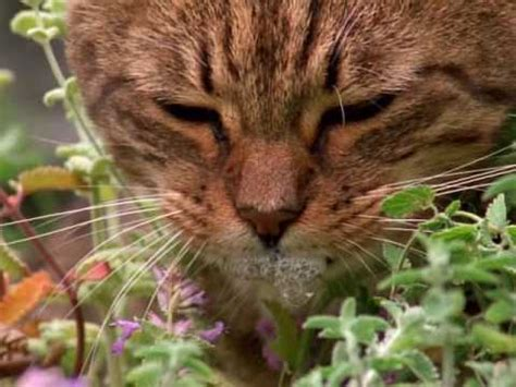 does catnip affect dogs how catnip gets cats high vision times