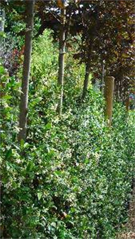 climbing hedge plants trachelospermum jasminoides evergreen