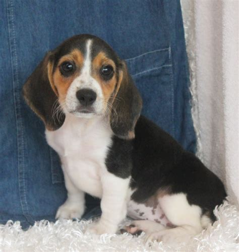 show me the puppies show me puppies beagle puppies