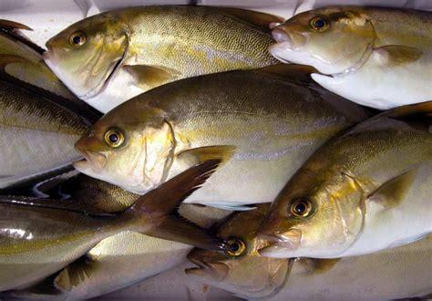 kampachi hawaiian santa monica seafood