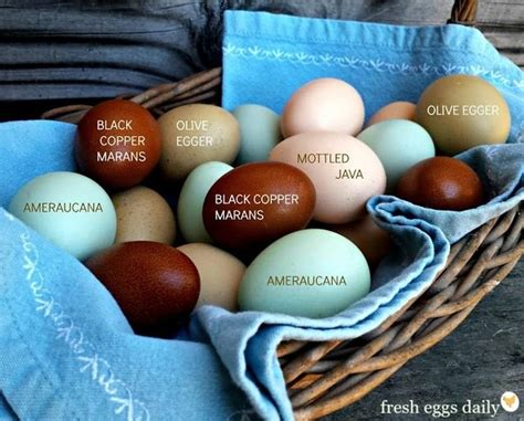 chickens  lay brown eggs