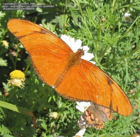 Bug Pictures: Julia, Julia Heliconian, The Flame, Flambeau (Dryas iulia) by jmorth