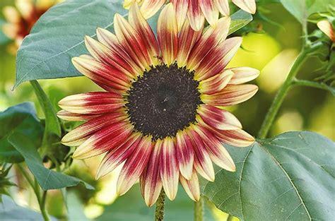Top 10 Sunny Sunflower Varieties | Flower Garden - Birds ... Giant Pink Teddy Bear