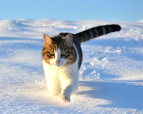 1280x1024 wallpaper cat download wallpaper 1280x1024 cute cat walking in the snow
