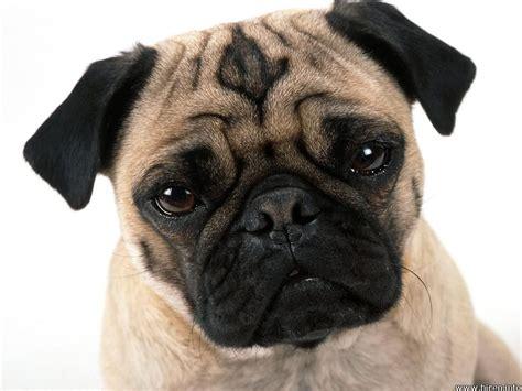 pug dogs dogs pug