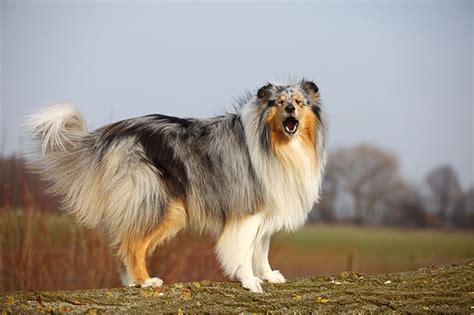 what breed of is lassie what of is lassie mypets101 breeds names dogs for sale with