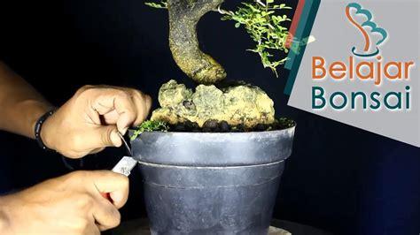 belajar membuat bonsai kawista  atas batu potong pot