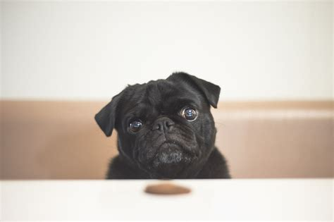 i m going to eat you pug going why i m stoked i did the pug diary