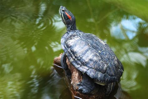 what should i feed my red eared slider turtle