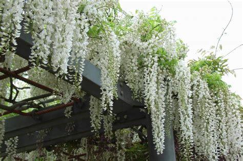 Tanaman Hias Floribunda White kolom hsgautama pohon merambat white whisteria yang cantik