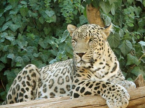 s leopard tom clark lorenzo the leopard