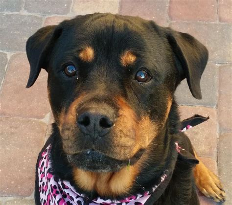 rottweiler rescue shelter rottweiler rescue florida breeds picture